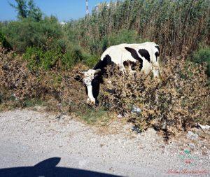 consigli per un viaggio in albania mucche in strada