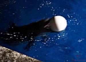 Un delfino gioca con la palla durante la visita all'acquario di genova.