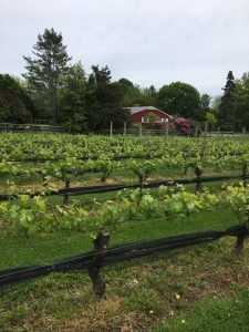 I vigneti di North Fork, Long Island.