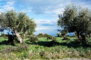 Panorama sul Lago di Varano tra gli ulivi.