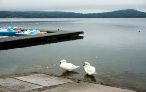 Cigni sul Lago di Viverone.