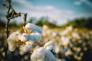 Piantagione di cotone in Alabama ambintazione de Il Buio oltre la siepe.