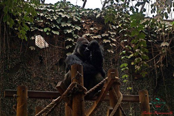Gorilla allo zoo artis di Amsterdam.
