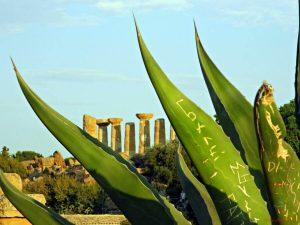 scorcio della valle dei templi di agrigento dietro a un cactus