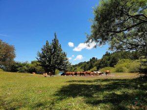 mucche sul lago di giacopiane